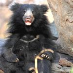 12 Cool Facts About The Sloth Bear