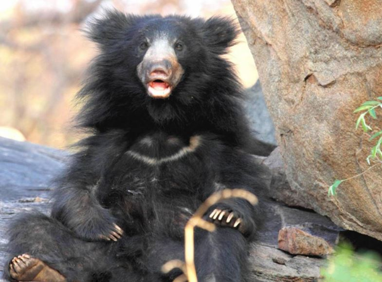 sloth bear facts