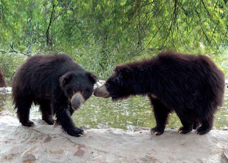 two sloth bears