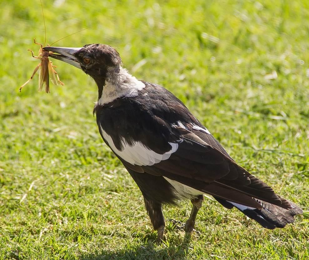 Australian magpie eating
