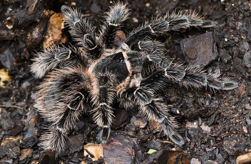 10 Brazilian Salmon Pink Spider Facts