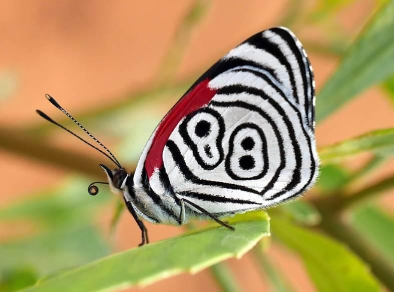 Eighty eight buttefly