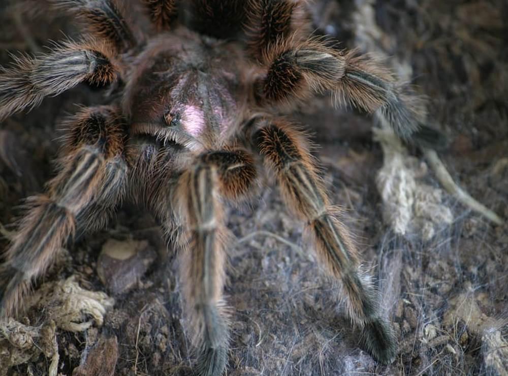 Lasiodora spider