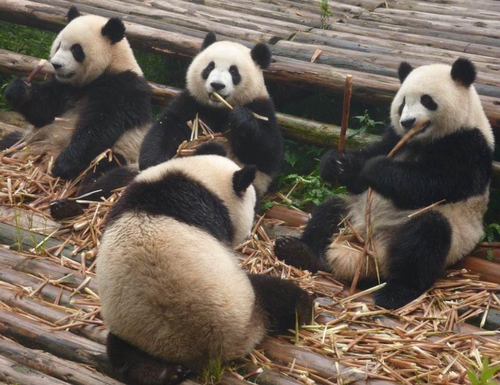 Panda bears eating bamboo sticks