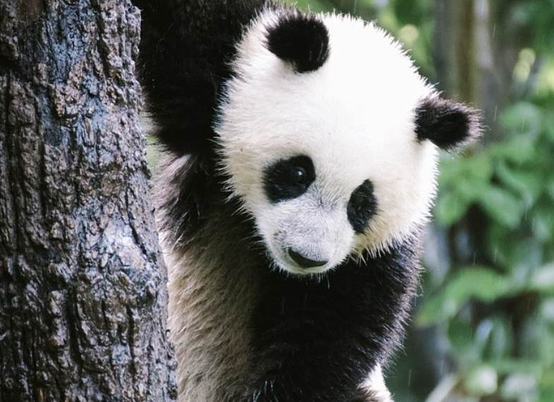 Top 12 Cuddly Giant Panda Facts