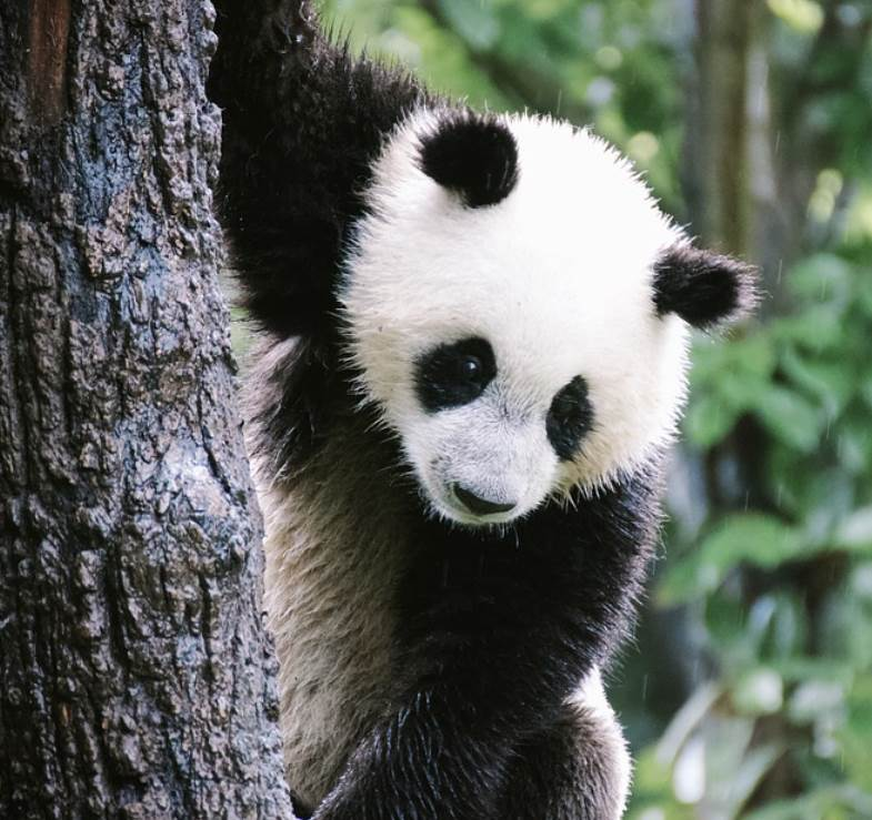young panda bear